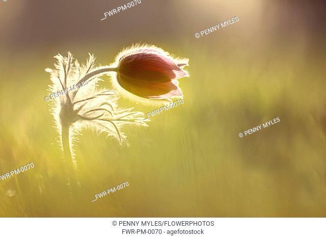 Pasqueflower, Pulsatilla vulgaris, single flower not quite open, backlit in early morning sunlight