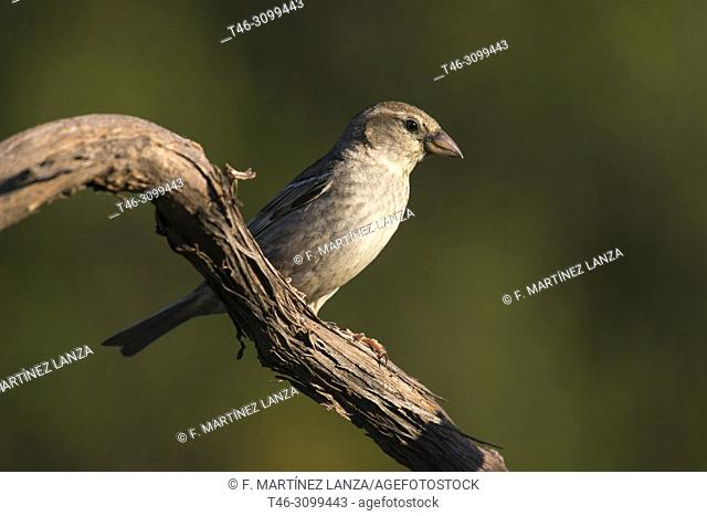 Female Moor Sparrow (Passer hispaniolensis). In a forest in the Sierra de Guadarrama. Madrid, Spain