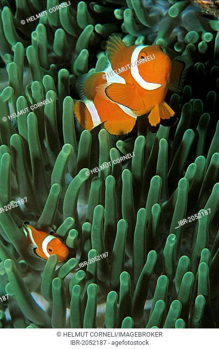 False Percula Clownfish or Ocellaris clownfish (Amphiprion ocellaris), living in close symbiosis with sea anemones, where they find protection from predators