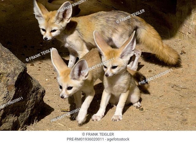 Fennec Fox, Fennecus zerda / Fennek, Fennecus zerda