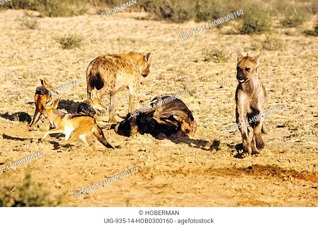 Hyenas and Black Backed Jackals with Kill, South Africa