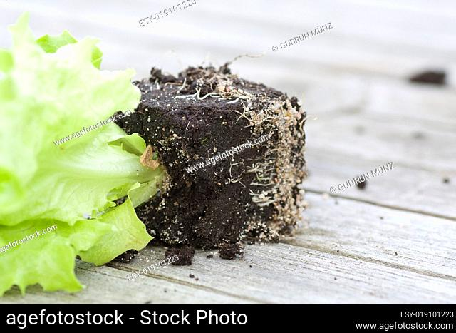 Lettuce Seedling with earth