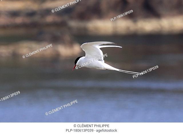 Arctic tern (Sterna paradisaea) flying over sea and spotting fish below, Scotland, UK