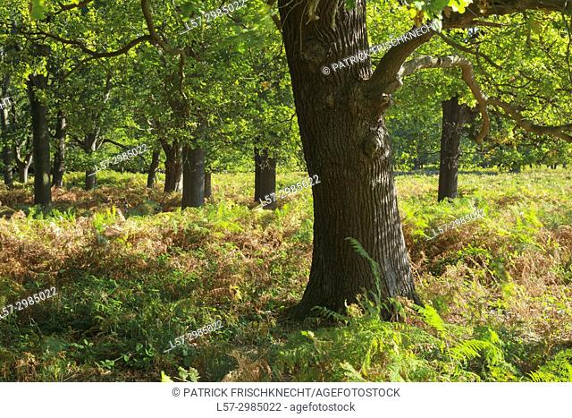 oak trees in Richmond Park, England