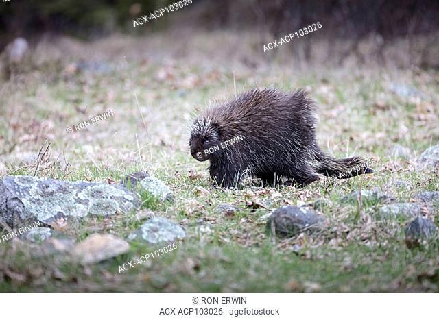 North American Porcupine (Erethizon dorsatum dorsatum) foraging, Barrie Island, Manitoulin Island, Ontario, Canada
