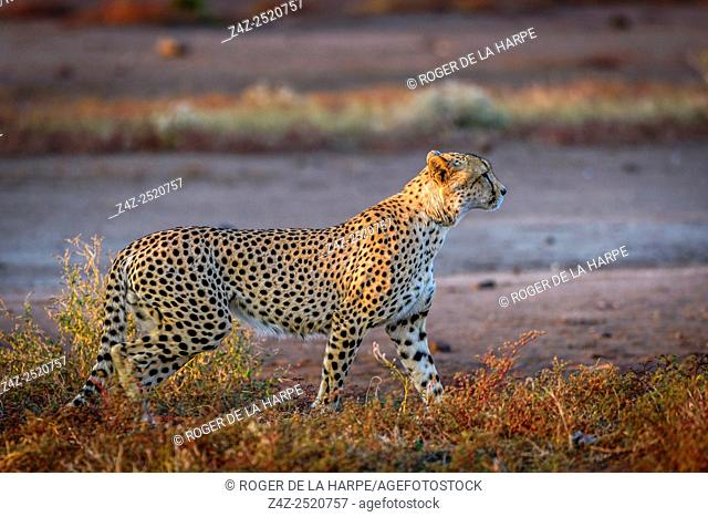 Cheetah (Acinonyx jubatus). Mashatu Game Reserve. Northern Tuli Game Reserve. Botswana