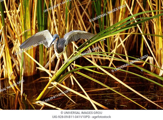 Florida, Everglades. Little Blue Heron With Wings Spread