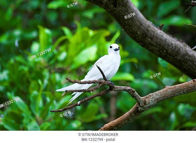 Common White-tern or Fairy Tern (Gygis alba), Fernando de Noronha, Brazil, South America