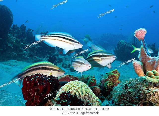 Striped parrotfish Initiale Phase, Scarus croicensis, Caribbean Sea, Dominica