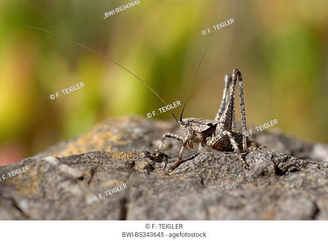 Grasshopper (Thyreonotus corsicus), sitting on a stone, Portugal