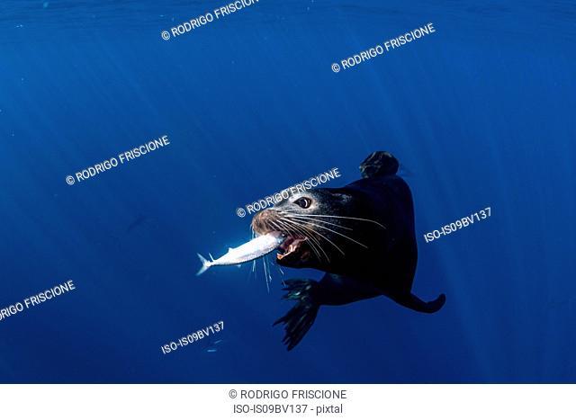 Sea lions hunting and feeding on mackerel baitballs