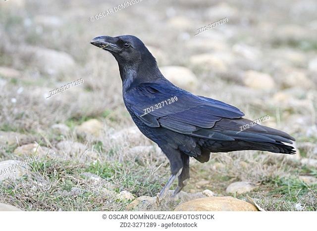 Common Raven (Corvus corax) perched on ground. Pre-Pyrenees. Lleida province. Catalonia. Spain