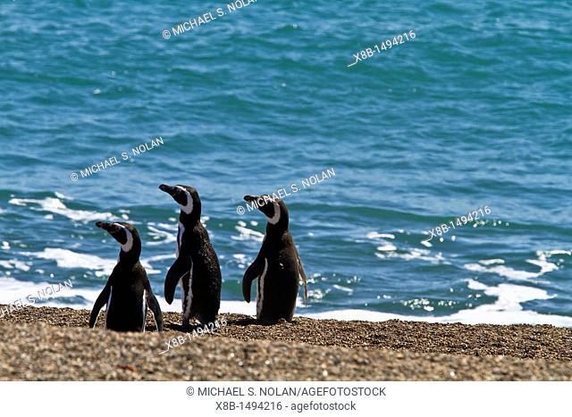 Magellanic penguins Spheniscus magellanicus at a breeding and molting site in Estancia San Lorenzo on Peninsula Valdez, Patagonia, Argentina