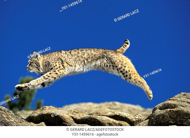 BOBCAT lynx rufus, ADULT LEAPING ON ROCKS, CANADA