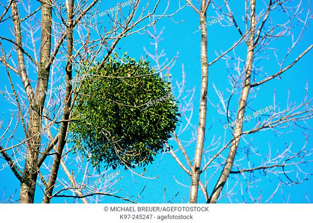 European Mistletoe (Viscum album)