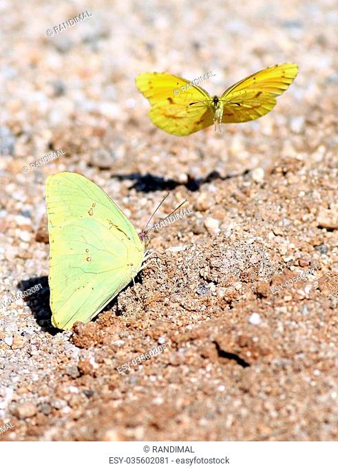 Two Yellow Butterflies in Mexico