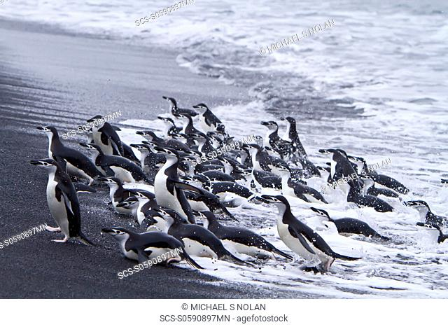 Chinstrap penguin Pygoscelis antarctica in surf conditions at Baily Head on Deception Island, South Shetland Island Group