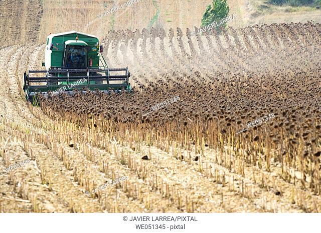 Sunflower harvesting near Estella. Navarra, Spain
