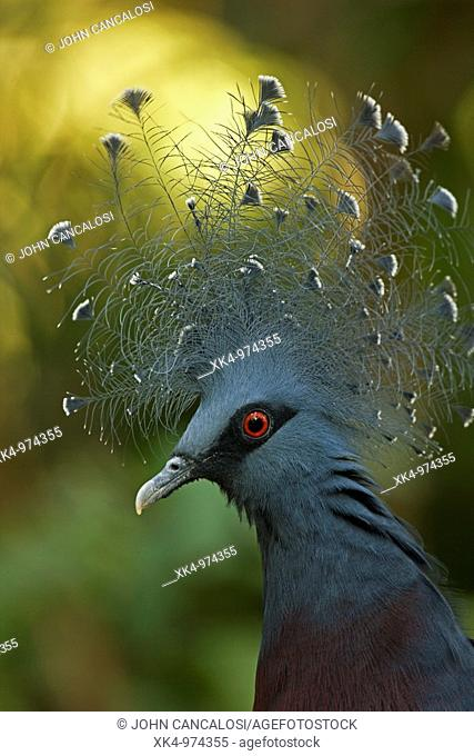 Victoria Cowned Pigeon (Goura victoria), Northern New Guinea, captive