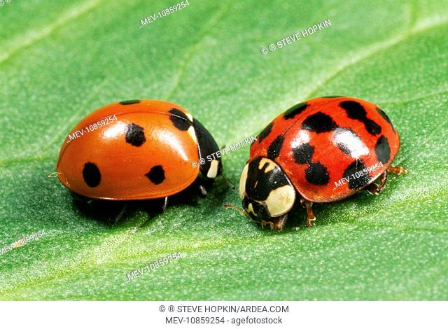 Harlequin LADYBIRD - with 7-spot ladybird (on left) (Harmonia axyridis). The Harlequin is a voracious predator and easily out competes our native ladybirds for...