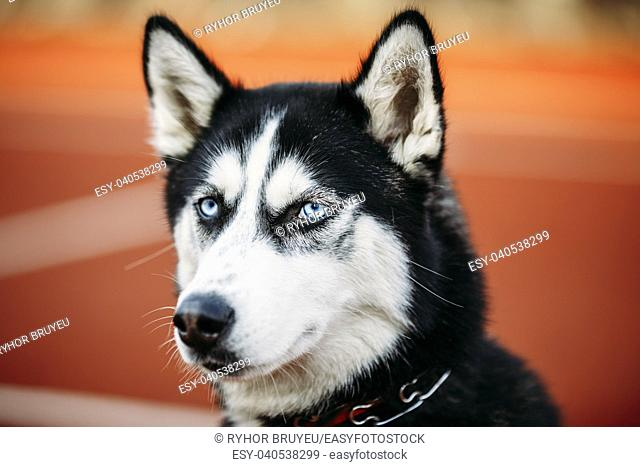 Close Up Head Of Young Husky Puppy Dog On Orange Background