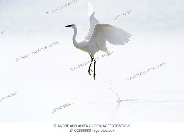 Great White Egret (Egretta alba)) flying up from water, Camargue, France