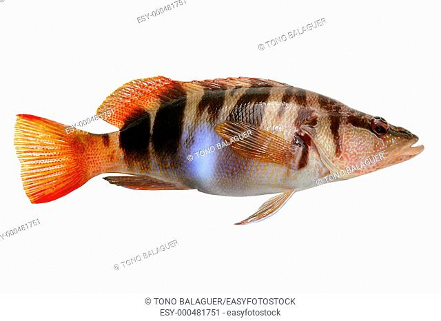 Serranus Scriba fish Painted Comber from mediterranean isolated on white