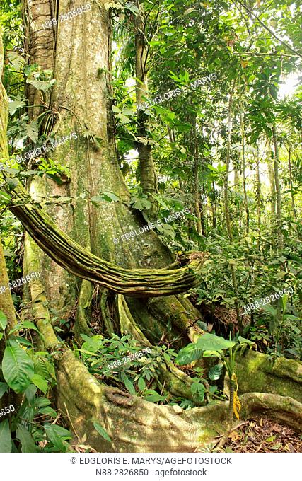 Buttress and aereal Roots of Banyan Ficus Trees in the high jungle Henri Pittier National Park Venezuela