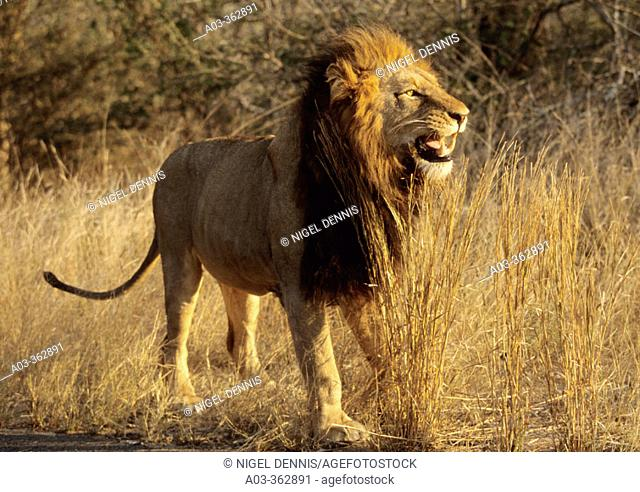 Lion (Panthera leo) flehmen display. Kruger National Park, South Africa