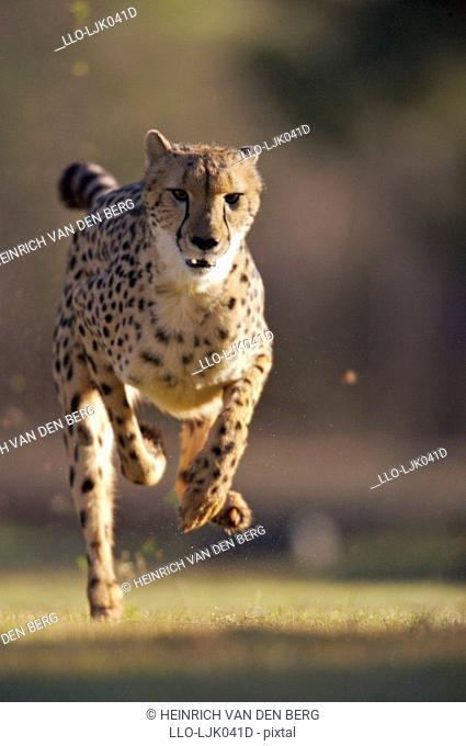 Cheetah Acinonyx jubatus running at The De Wildt Cheetah and Wildlife Trust, near Bela-Bela, North West Province, South Africa