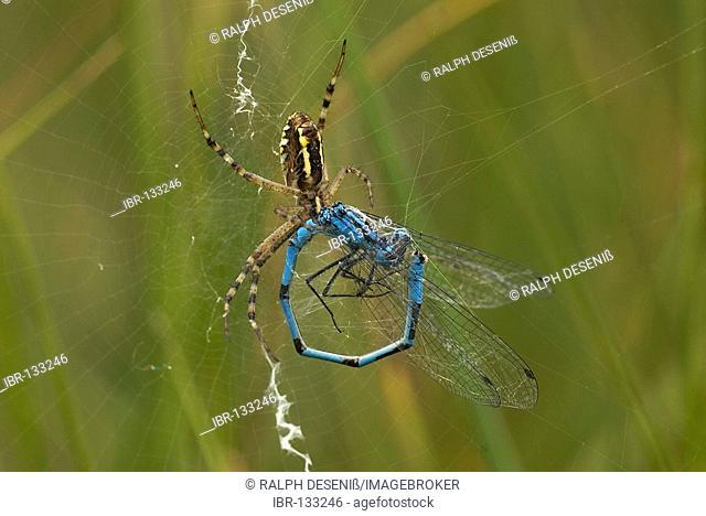 Wasp spider (Argiope bruennichi) eating a Common Blue Damselfly (Enallagma cyathigerum)