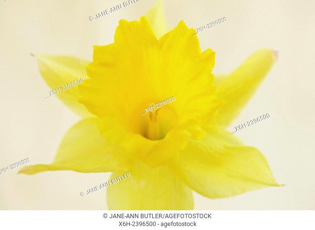 beautiful daffodil celebrating the sun - Easter symbolising re-birth and new beginnings