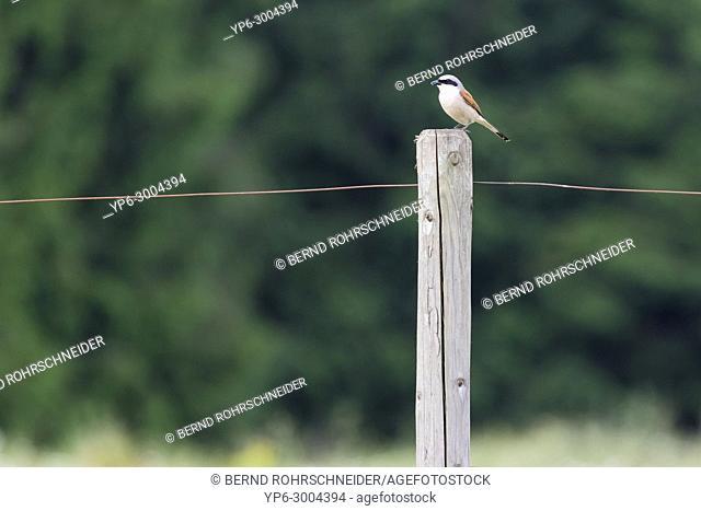Red-backed shrike (Lanius collurio), adult male perched on fence post, Hunsrück, Rhineland-Palatinate, Germany
