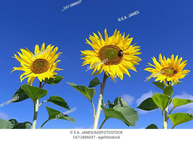 Sunflowers in Norfolk Farmland UK