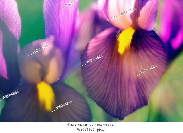 Dutch Iris. Iris danfordiae. May 2006, Maryland, USA