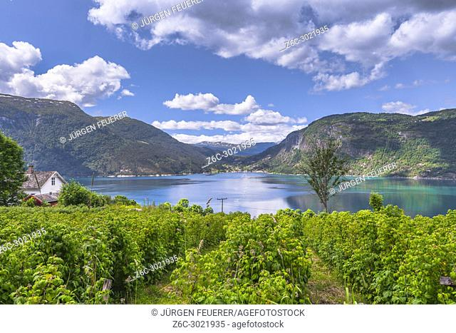 Lustrafjorden with turquoise water and fruit plantation, Ornes in Norway, fjord panorama with raspberry orchard, Sognefjorden