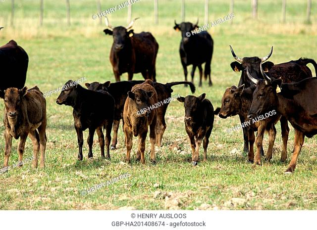 France, Camargue, cattle, Bos taurus
