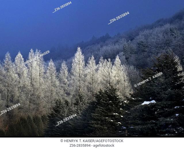 Frozen forest, winter