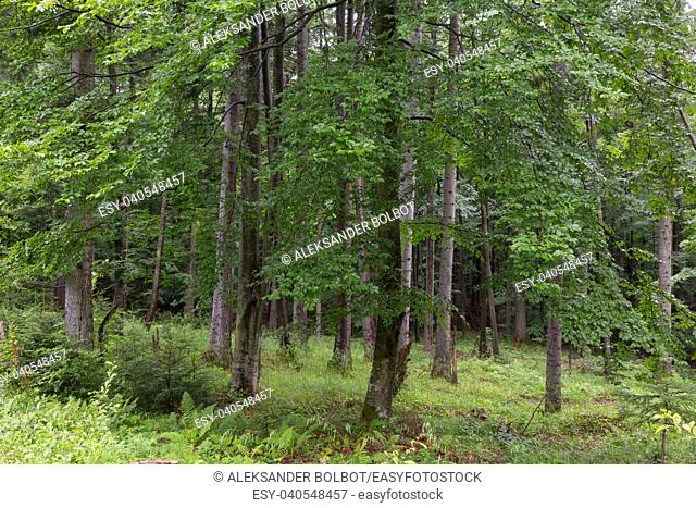 Fir and beech trees in summertime forest,Bieszczady Ridge,Poland,Europe