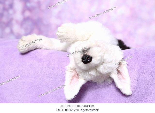 Old English Sheepdog. Puppy sleeping on a purple blanket. Studio picture against a purple background. Germany
