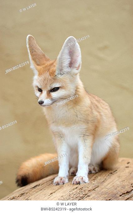 fennec fox Fennecus zerda, Vulpes zerda, sitting