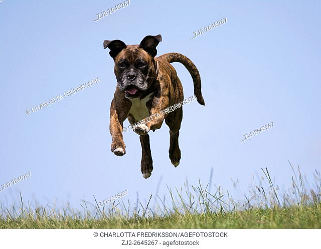Action shot of female boxer dog in mid-air, jumping, against a blue sky