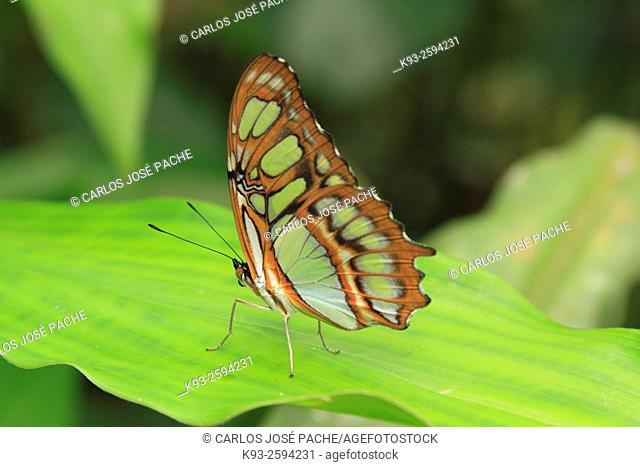 Siproeta stelenes butterfly, Monteverde, Costa Rica