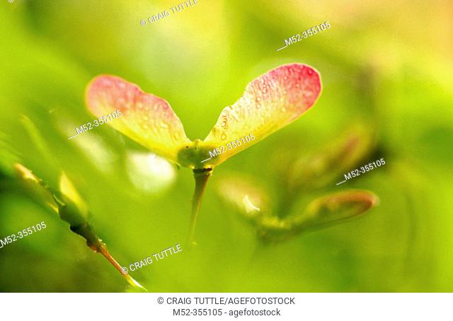 Close-up oak tree spring. Oregon. USA