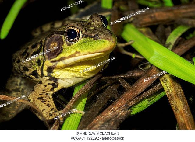 Green Frog (Rana clamitans) male, near Barrie, Ontario, Canada