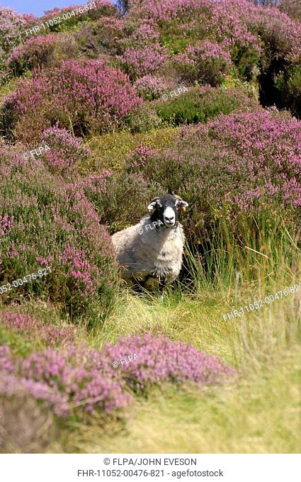 Domestic Sheep, Swaledale ewe, standing in heather, Trough of Bowland, Lancashire, England