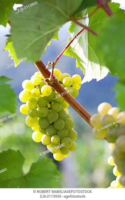 Riesling Wine grape