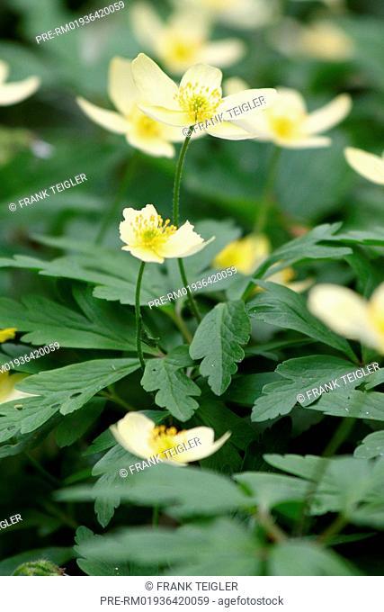 Bastard Snowdrop Anemone, Anemone x lipsiensis / Leipziger Busch-Windröschen, Anemone x lipsiensis