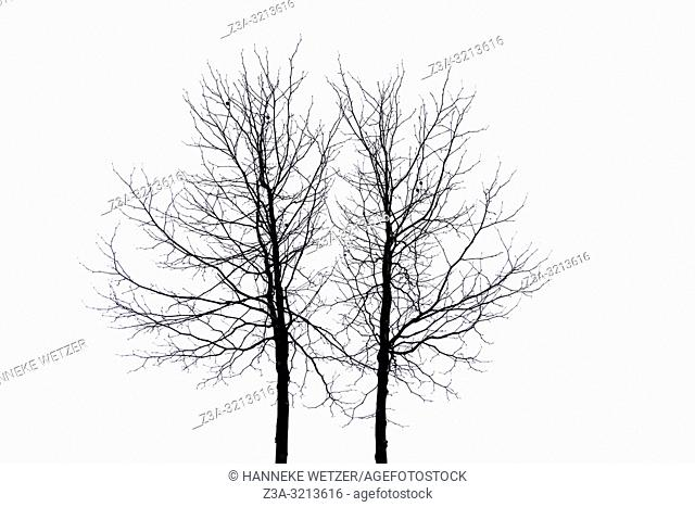 Silhouet of winter trees against a white sky