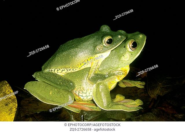 Amplexus in Rhacophorus malabaricus, the malabar gliding frog. This frog can glide from higher branches to the ground